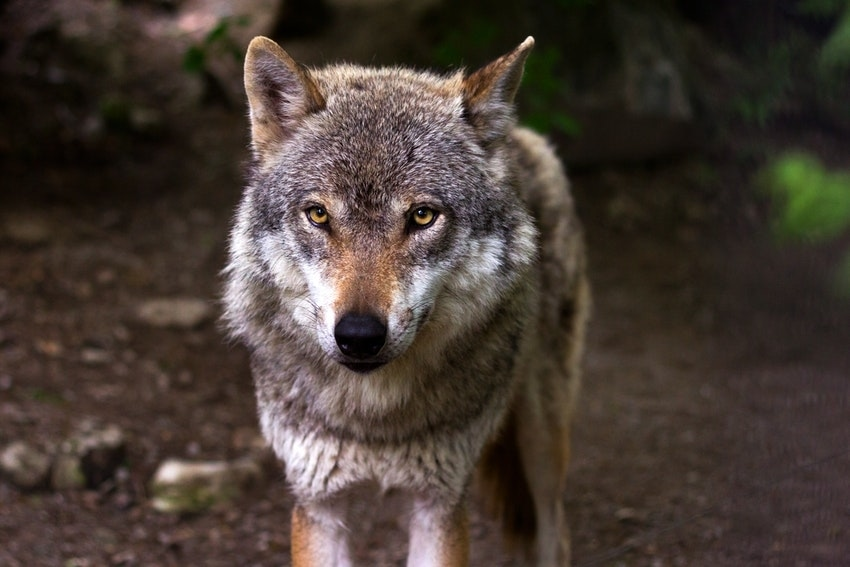 Face of gray wolf with gold eyes in woods